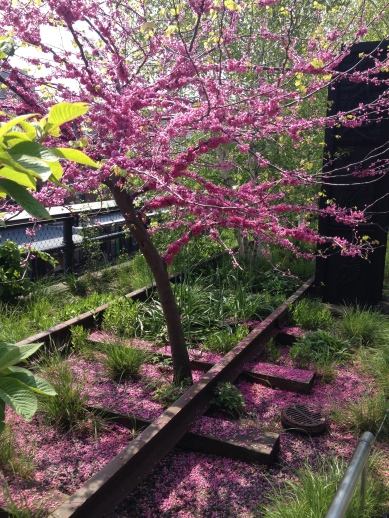 A Redbud on Section 1 of the High Line in April